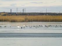 两只天鹅、海鸥和鸭子在冬天湖 免版税库存照片