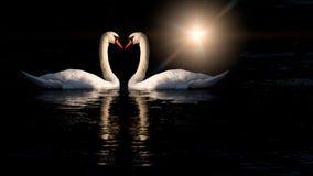 两只天鹅亲吻 免版税库存照片