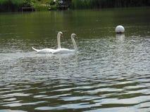 两只天鹅变冷 免版税图库摄影