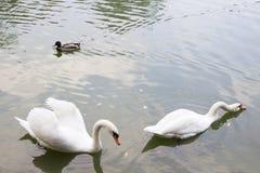 两只天鹅和鸭子游泳在池塘 免版税库存图片