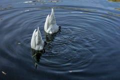 两只天鹅在池塘 免版税库存图片