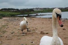 两只天鹅在海边 库存图片