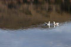 两只天鹅在湖 免版税图库摄影