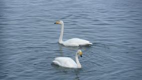 两只天鹅在湖 库存图片