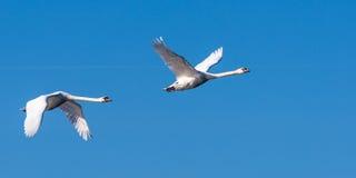 两只天鹅在飞行中,被上升的翼 免版税库存图片
