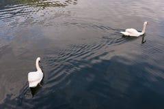两只天鹅在Hallstatt,奥地利湖游泳  免版税图库摄影