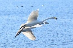 两只天鹅飞行在水 免版税库存图片