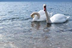 两只天鹅,海,蓝色,白色,水鸟,鸟 库存图片