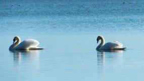 两只天鹅-爱概念 免版税库存照片
