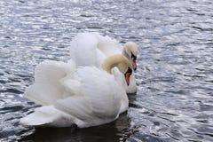 两只天鹅 免版税图库摄影