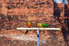 两只太阳Conure鹦鹉鸟 图库摄影