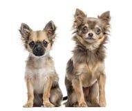 两只奇瓦瓦狗小狗,隔绝在白色 库存图片