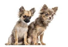 两只奇瓦瓦狗小狗,隔绝在白色 免版税库存图片