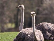 两只女性驼鸟坐 免版税库存照片