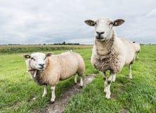 两只好奇地看的绵羊 图库摄影