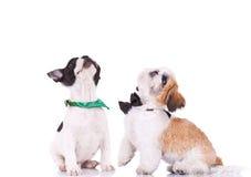 两只好奇小狗查寻 图库摄影