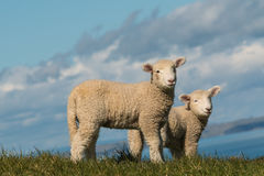 两只好奇羊羔 免版税库存照片