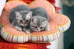 两只好奇英国Shorthair小猫 免版税库存图片