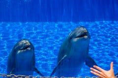 两只好奇逗人喜爱的海豚 免版税库存图片