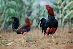两只好斗的公鸡 免版税图库摄影