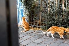 两只姜猫在城市 免版税库存照片
