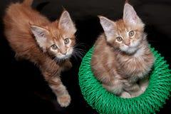 两只姜缅因浣熊小猫 两个月 宠物 图库摄影