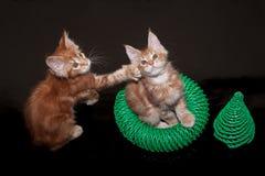 两只姜缅因浣熊小猫 两个月 库存照片