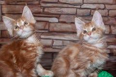 两只姜缅因浣熊小猫 免版税图库摄影