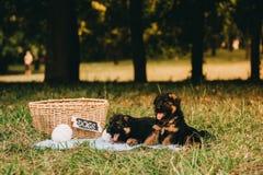 两只嬉戏的小狗 免版税图库摄影