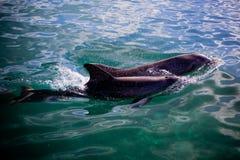 两只嬉戏的海豚 图库摄影