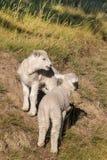两只嬉戏的羊羔 库存图片