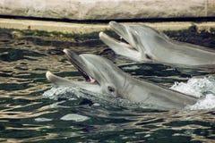 两只宽吻海豚在水中 免版税库存图片