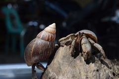 2两只寄居蟹寻找他们的道路家庭在黑日本蜗牛壳 库存图片