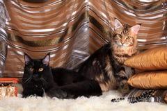 两只富有的缅因树狸猫 库存照片