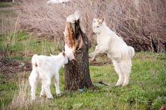 两只小山羊在树附近吃草 图库摄影