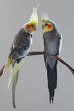 两只小形鹦鹉 库存照片