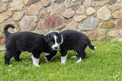 两只小狗在草甸 库存图片