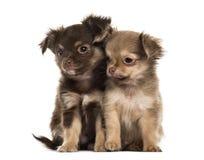 两只小狗奇瓦瓦狗, 2个月坐,被隔绝 免版税库存照片