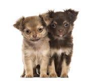 两只小狗奇瓦瓦狗, 2个月坐,被隔绝 免版税库存图片