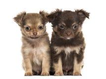 两只小狗奇瓦瓦狗, 2个月坐,被隔绝 库存照片