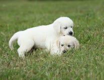 两只小狗金毛猎犬使用 库存图片