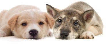 两只小狗说谎 免版税库存照片