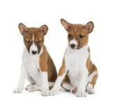 两只小狗Basenji 免版税图库摄影