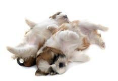 两只小狗shitzu 库存图片