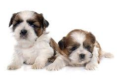 两只小狗shitzu 免版税库存照片