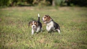 两只小猎犬小狗戏剧 图库摄影