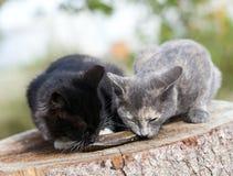 两只小猫吃鱼。 库存图片