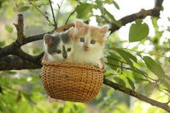 两只小猫在垂悬的篮子坐树 图库摄影