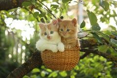 两只小猫在垂悬的篮子坐树 库存图片
