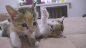 两只小猫在长沙发慢动作录影被演奏 演奏概念两小猫和生活方式猫宠物的小猫 股票录像